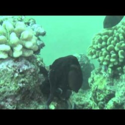 Video: Cruising with the Kaua'i Octopus