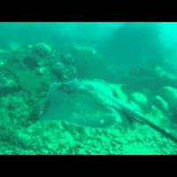 Video: Giant Stingray at Koloa Landing